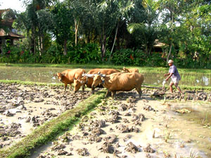 Farmer plows the rice fields